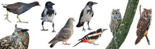 Collection Of European Birds, Isolated With White Background