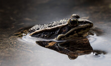 Sideview Of A Frog In Water