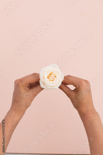Fototapeta premium High angle view of person holding white rose on pink background