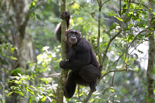 Obraz na plátně Portrait of wild free chimpanzee ape