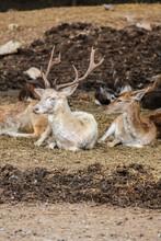 Group Of Deers Lying On The Field