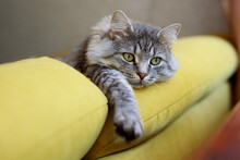 Sad Fluffy Cat Lies On Sofa. Tabby Lovely Kitten With Green Eyes And Long Gray Hair.