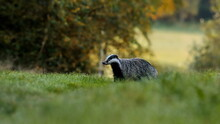 Autumn Poetry. Close-up Portrait Of A Badger In Its Natural Habitat. Meles Meles
