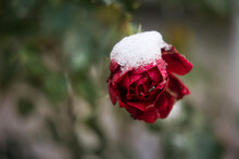 Flower Red Rose Under The Snow With Drops Of Water. Close-up Flower Background. Snow Melts On A Rose Flower