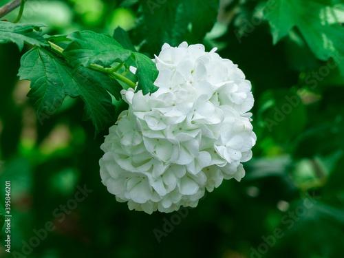 Fototapeta Closeup of white flowers of guelder-rose or snowball tree