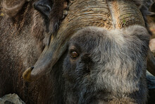 2020-08-06 A PORTRAIT PHOTO OF A MUSK OXEN HIGHLIGHTING ITS EYE AND HORNS