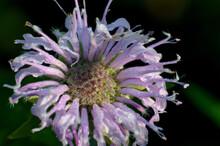 A Purple Bee Balm Flower