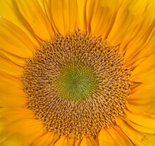 Closeup Of A Sunflower From Above. Light Green Center In Flower, Then Orange And Yellow.