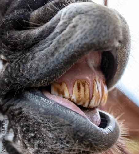 Fototapeta premium Close-up of a smiling zebra