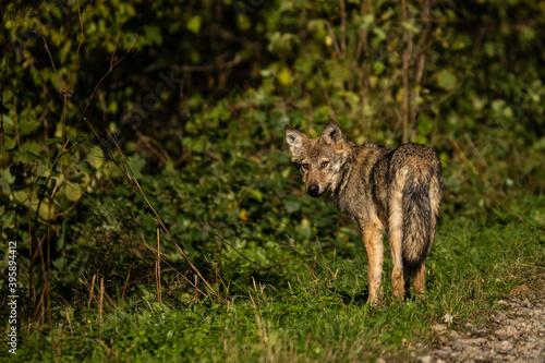 Obraz na plátně Young Grey Wolf. The Carpathian Mountains. Poland