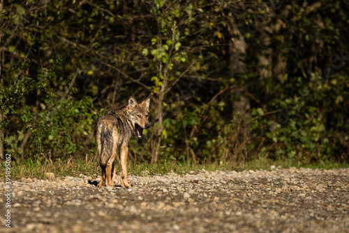 Young Grey Wolf. The Carpathian Mountains. Poland Canvas Print