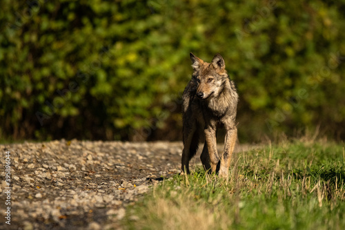 Fototapeta Young Grey Wolf. The Carpathian Mountains. Poland