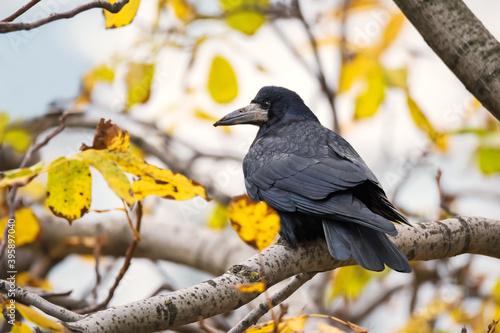 Fototapeta premium Crow bird on tree branch with yellow autumn leaves