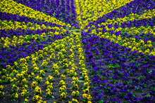 Flowers Pansies Bright Yellow And Blue Colors With A Dark Mid. Colorful Spring Violets On The Street Flower Bed