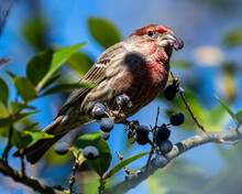 House Finch In A Tree Looking ...