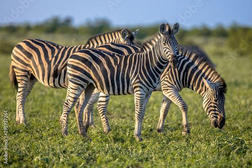 Fototapeta premium Three Common Zebras grazing on savanna
