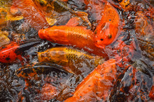 Colorful And Multicolor Fancy Carp Fish Swimming In The Pond, Fancy Carp Fish Or Koi Fish Background And Texture. Texture Of Red Carps As Background