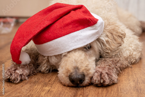 Overgrown face of a dog wearing a Santa hat. Concept for New Year, Christmas. #395968835