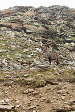 A Steinbock In Mountain