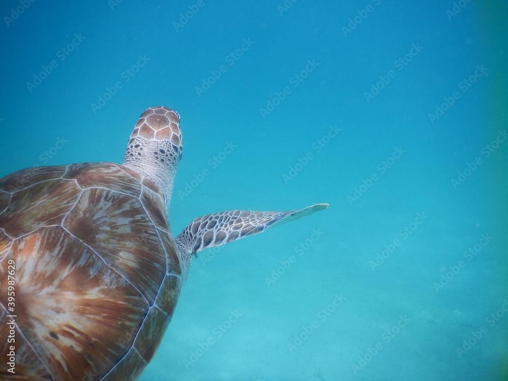Fototapeta karaibski żółw