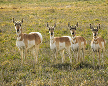 Pronghorn In A Row