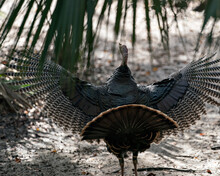 Wild Turkey Stock Photo.  Spread Wings. Close-up Profile View Behind With Spread Tail Feathers With Background Displaying  Bronze And Gold Feathers, Fan-shaped Tail, In Its Habitat. Image.  Portrait.