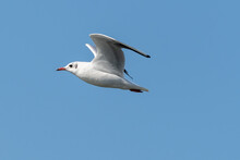 Black-headed Gull (Larus Ridibundus) Flying On The Blue Sky