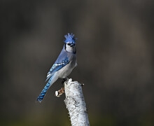 Blue Jay Perched On Birch Tree And Raised Its Crest On Dark Background In Fall