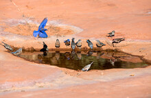 A Natural Watering Hole In The Courthouse Butte Trail In Sedona Arizona With Many Beautiful Western Bluebirds Taking A Drink.  One Of The Bluebirds Is Showing Off Its Flight Feathers.