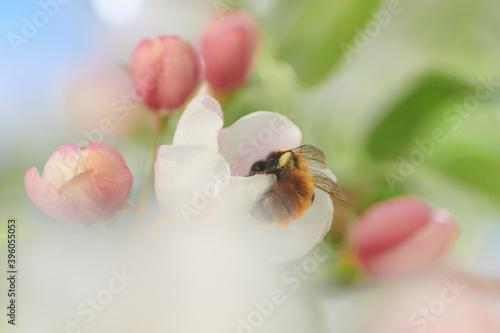 Fototapeta Pracowita pszczoła zagląda ciekawie w głąb kwiatu jabłoni  obraz
