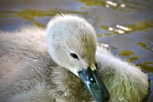 Closeup Of A Cygnet Swan On Wa...