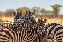 A Herd Of Zebras Standing In The Shade