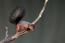 The Red Squirrel Or Eurasian R...