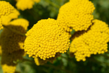 Gold Plate Yarrow