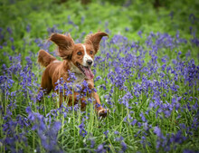 Gold Working Cocker Spaniel Running Through Bluebells In Woodland In The Spring With Ears Flying