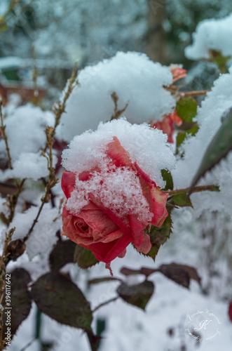 Fototapeta już zima a róży czerwień taki ostry i śnieg spadł. obraz