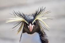 Northern Rockhopper Penguin, Moseleys Rockhopper Penguin, Or Moseleys Penguin