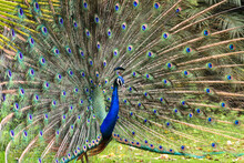 Open Fanned Peacock