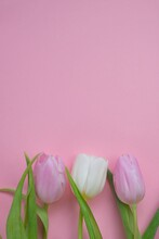 Tulips Flowers. Pink And White...