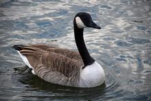 Canada Goose Swimming On Dark ...