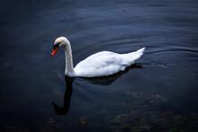 A Wild Swan On A Lake