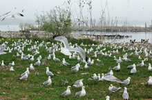 Seagull And Waterfowl Colony With Young Chicks