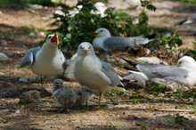 Protective Parents Caring For Seagull Chicks