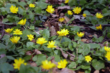 Bright Yellow Corollas Of Lesser Celandine Looks Pleasantly In The Nice Bouquet.