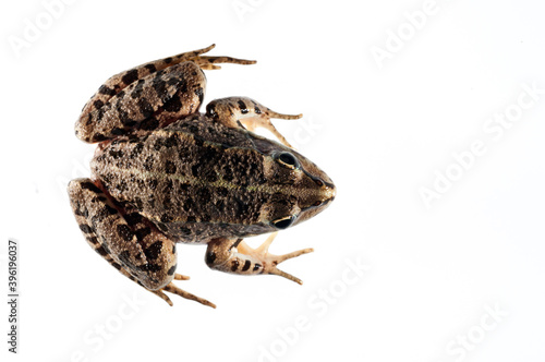 Canvas Print Balkan frog (Pelophylax kurtmuelleri) on white background, Italy