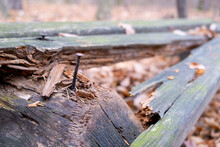 Rusty Nail In An Old, Broken, Rotten, Wooden Bench In The Autumn Forest