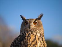 Close-up Portrait Of An Owl Head Against A Blue Sky