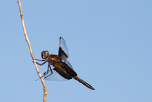 Widow Skimmer Dragonfly Against Blue Sky.