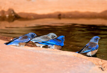 Western Bluebirds Getting A Dr...
