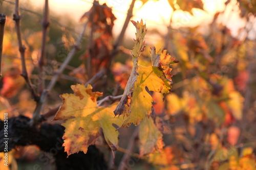 Leinwand Poster File di vite in una collina in autunno con foglie rosse